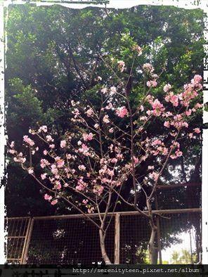工作室附近的花樹。